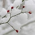 Red Berries by Linda Seacord