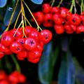 Red Berries by Lyle  Huisken