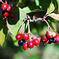 Red Berries by Maggy Marsh