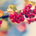 Red Berries by Mo Barton