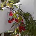 Red Berries On A White Fence by William Tasker