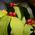 Red Berries by Teresa Mucha