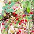 Red Berry New England by Wendy Holt Castiglione