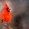 Red Bird In The Snow by Rikk Flohr