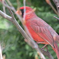 Red Bird In The Woods-2 by Pooja Dipanker