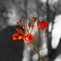 Red Bird Of Paradise by Colleen Cornelius