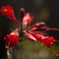 Red Bloom by Jessica Fong