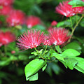 Red Blossoms by Bibzie Priori