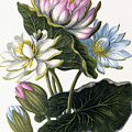 Red, Blue, And White Lotus Flowers by William Hooker