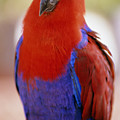 Red Blue Macaw by Allan Seiden - Printscapes