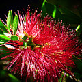 Red Bottle Brush by Trudee Hunter