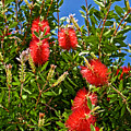 Red Bottlebrush At Pilgrim Place In Claremont-california by Ruth Hager