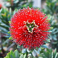 Red Bottlebrush by Glenn McCarthy Art and Photography