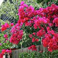 Red Bougainvillea by Gene Parks