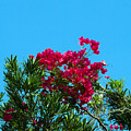 Red Bougainvillea Glabra Vine by Allan  Hughes