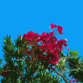 Red Bougainvillea Glabra Vine In Juniperus Virginiana Tree In Co by Allan  Hughes