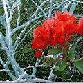 Red Bougainvillea Thorns by James Temple