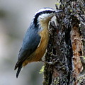 Red Breasted Nuthatch by Ben Upham III