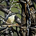 Red-breasted Nuthatch by Rick Graham