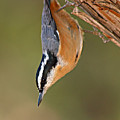 Red-breasted Nuthatch Upside Down by Max Allen