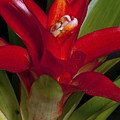 Red Bromiliad by Christopher Holmes