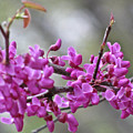 Red Bud Blossoms by Debra     Vatalaro
