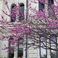 Red Buds And San Antonio City Hall by Carol Groenen