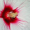 Red Burst by Suzanne Gaff