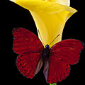 Red Butterfly And Calla Lily by Garry Gay