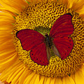 Red Butterfly On Sunflower by Garry Gay