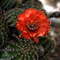 Red Cactus Flower  by Saija  Lehtonen