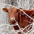 Red Calf  Hideaway by Jeanie Mann