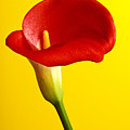 Red Calla Lilly  by Garry Gay