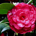 Red Camellia by Erin O'Neal-Morie