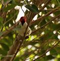 Red-capped Cardinal Digital Oil by Chris Flees