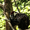 Red-capped Mangabey by Judy Vincent