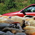 Red Car Blocked By A Flock Of Sheep by Sami Sarkis