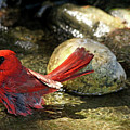 Red Cardinal Bathing by Debbie Oppermann