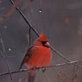 Red Cardinal by John Harmon