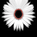 Red Center Daisy by Heather Joyce Morrill