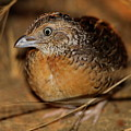 Red-chested Button-quail by Bruce J Robinson