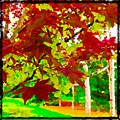 Red Chinese Maple Leaf's by Debra Lynch