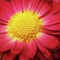Red Chrysanthemum by Christina Rollo