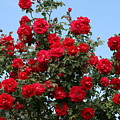 Red Climbing Roses by Kay Novy