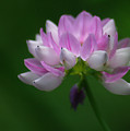Red Clover by Jenny Gandert