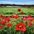 Red Corn Poppies At The Fence by Lynn Bauer