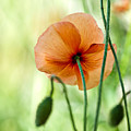 Red Corn Poppy Flowers 02 by Nailia Schwarz