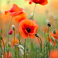 Red Corn Poppy Flowers 06 by Nailia Schwarz