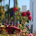 Red Coronado Roses by Valerie Loop