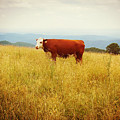 Red Cow On The Blue Ridge by Valerie Reeves